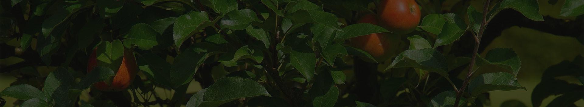 Voćne sadnice - Kruševac