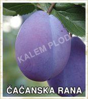 Prodaja sadnica sljiva Čačanska rana