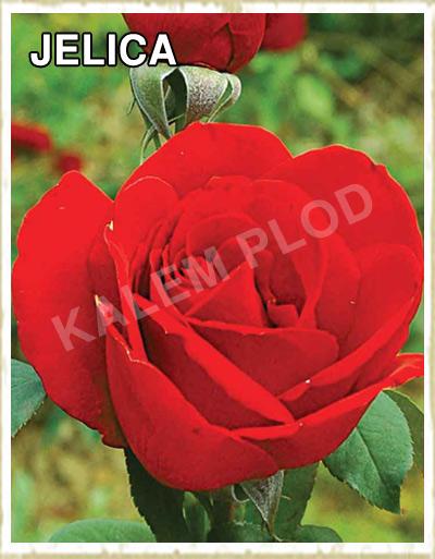 Prodaja sadnica ruza cajevka Jelica