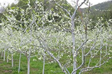 Radovi u vocnjaku april