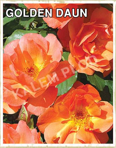 Ruza puzavica Golden daun