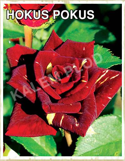 Sadnica ruža polijante Hokus pokus