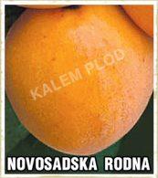 Sadnice kajsija Novosadska rodna