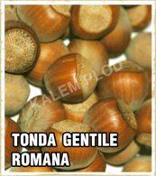 Sadnice lesnik tonda Gentile Romana