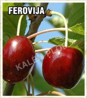 Sadnice voca trešnja Ferovija