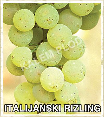 Vinova loza italijanksi rizling