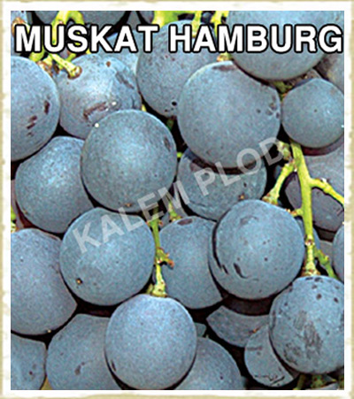 Vinova loza Muskat Hamburg
