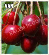 Vocne sadnice tresnja Van