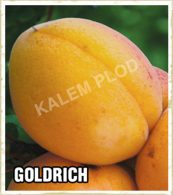 Prodaja sadnica kajsija Goldrich