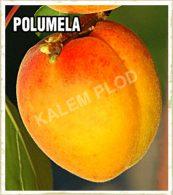Prodaja sadnica kajsija Polumela