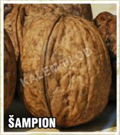 Prodaja sadnica orah Šampion