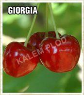 Prodaja sadnica tresnja Giorgia
