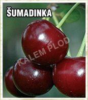 Prodaja sadnica visnja Sumadinka