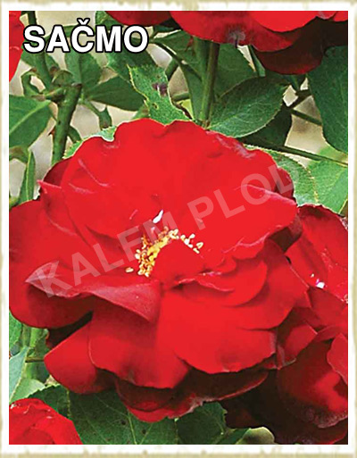 Prodaja sadnica ruza polijanta Sacmo