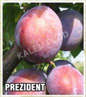 Sadnice sljiva Prezident