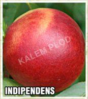 Sadnice voca nektarina Indipendens