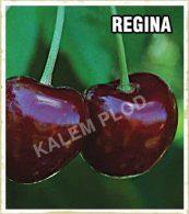 Sadnice voca tresnja Regina
