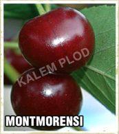Sadnice voca visnja Montmorensi