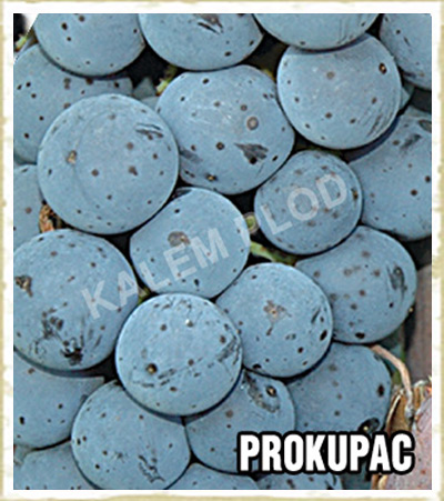 Vinova loza Prokupac