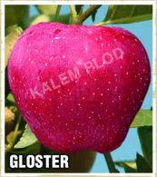 Vocne sadnice jabuka Gloster