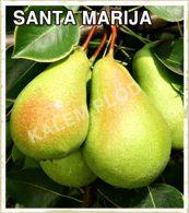 Vocne sadnice kruska Santa Marija