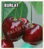 Vocne sadnice tresnja Burlat
